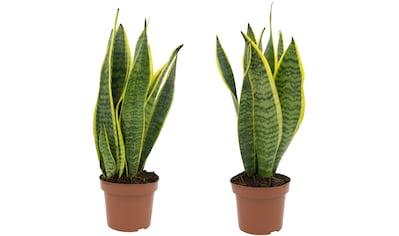 Dominik Zimmerpflanze »Bogenhanf«, Höhe: 20 cm, 2 Pflanzen kaufen