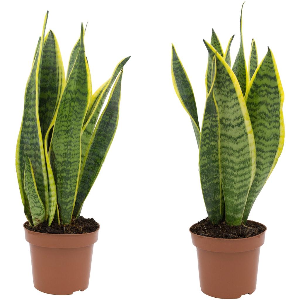 Dominik Zimmerpflanze »Bogenhanf«, Höhe: 20 cm, 2 Pflanzen