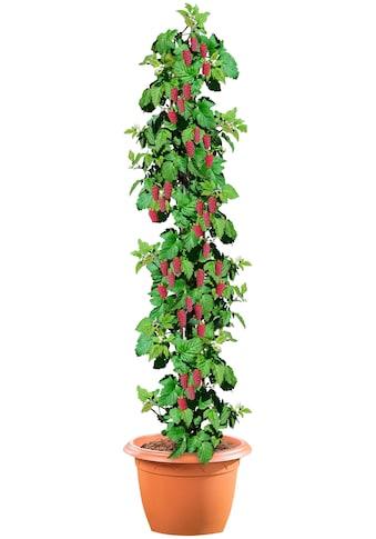 BCM Obstpflanze »Säulenobst Tayberry«, 50 cm Lieferhöhe kaufen