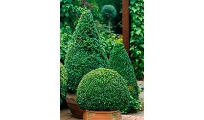 Gehölz »Buchsbaum Kegel« kaufen