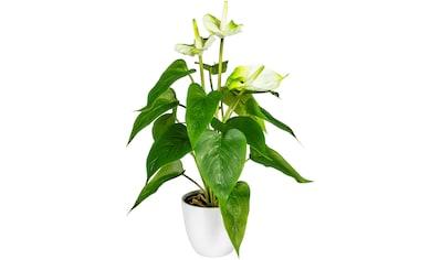 DELAVITA Künstliche Zimmerpflanze »Haune« kaufen
