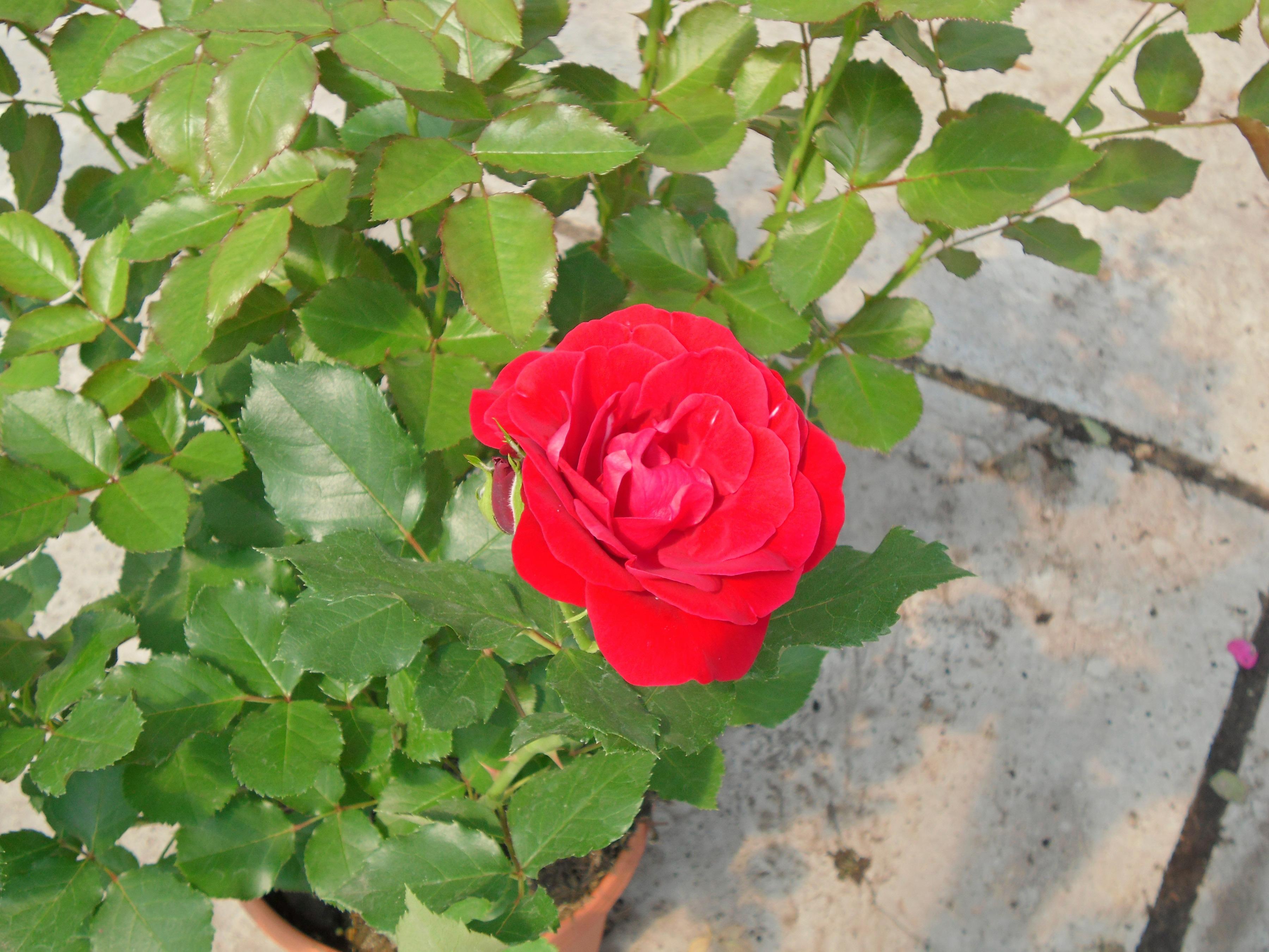 BCM Beetpflanze Rose Nina Weibull rot Beetpflanzen Pflanzen Garten Balkon