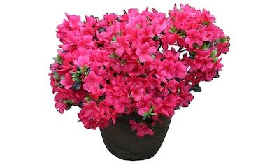 Rhododendron »Japanische Azalee Maruschka« kaufen