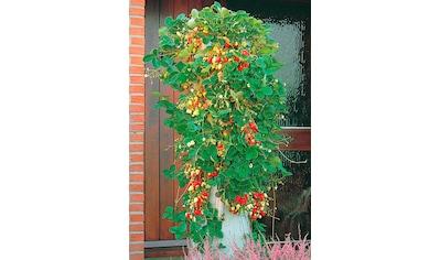 BCM Obstpflanze »Erdbeerbaum« kaufen