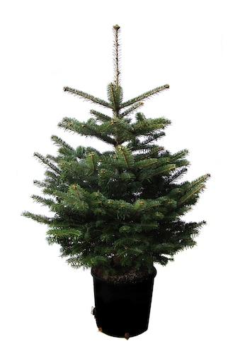Weihnachtsbaumland Echter Weihnachtsbaum »Echte Nordmanntanne zum Einpflanzen«, im... kaufen