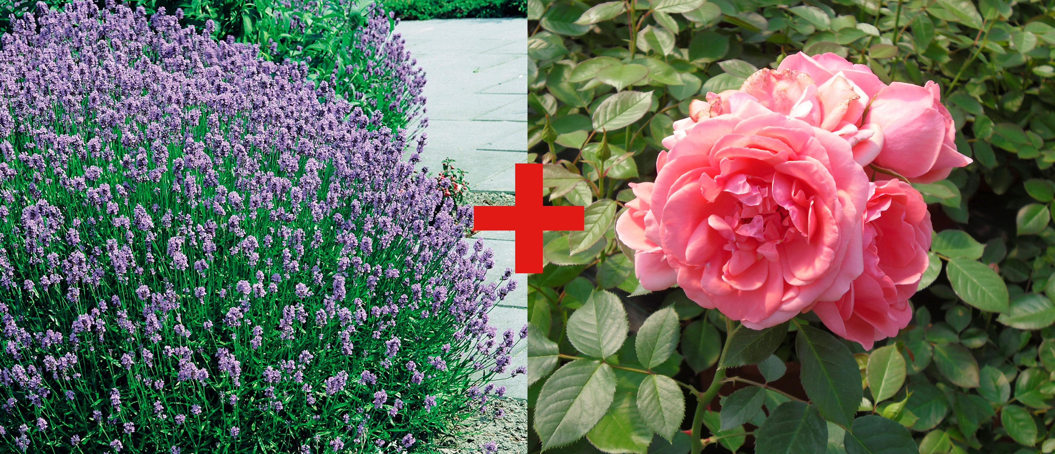 BCM Beetpflanze Rose Kimono & Lavendel lila Beetpflanzen Pflanzen Garten Balkon