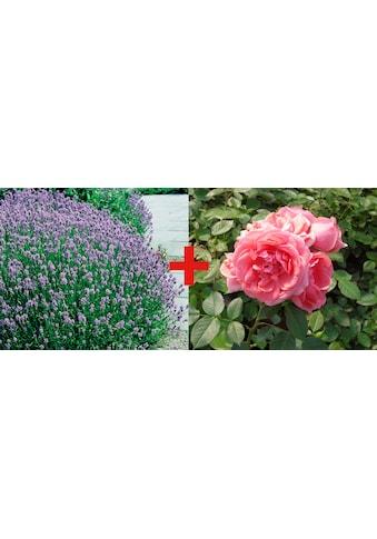 BCM Beetpflanze »Rose Kimono & Lavendel«, (Set) kaufen