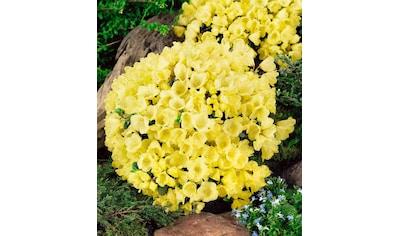BCM Hecken »Zwergrhododendron Wren« kaufen