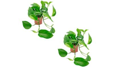 DOMINIK Zimmerpflanze »Efeututen«, Höhe: 30 cm, 2 Pflanzen kaufen