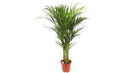 Dominik Zimmerpflanze »Goldfruchtpalme«, 90 cm Höhe, 1 Pflanze kaufen