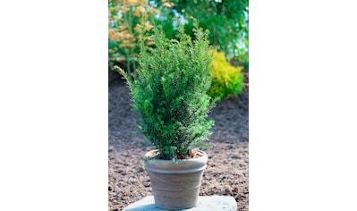 BCM Hecken »Eibe Grönland«, Höhe: 40-50 cm, 9 Pflanzen kaufen