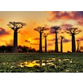 Papermoon Fototapete »Baobabs Trees African Sunset«