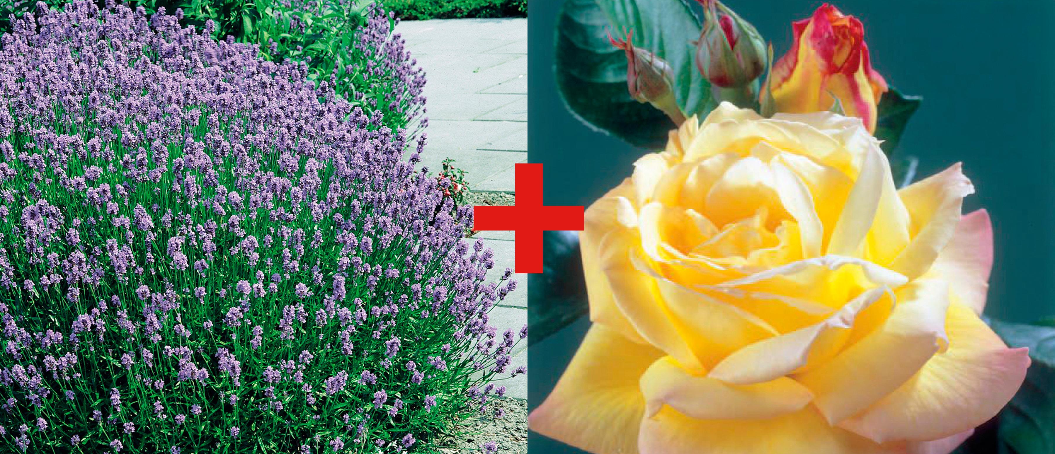 BCM Beetpflanze Rose Peace & Lavendel bunt Beetpflanzen Pflanzen Garten Balkon