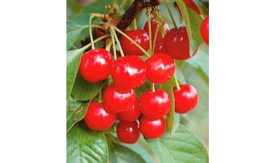 Obstbaum in U - Form »Kirsche« kaufen