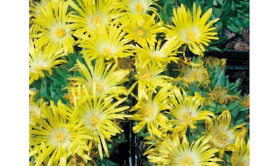 BCM Staude »Mittagsblume« kaufen