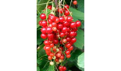 BCM Obstpflanze »Säulenobst Rote Johannisbeere Rodneus«, Höhe: 50 cm, 1 Pflanze kaufen