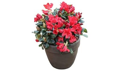 BCM Hecken »Rhododendron Scarlet Wonder« kaufen