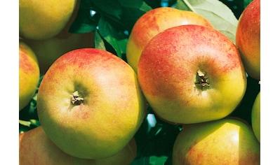 BCM Apfelbaum »Cox orange«, 150 cm Lieferhöhe kaufen