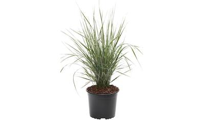 BCM Gräser »Reitgras brachytricha«, Lieferhöhe: ca. 40 cm, 1 Pflanze kaufen