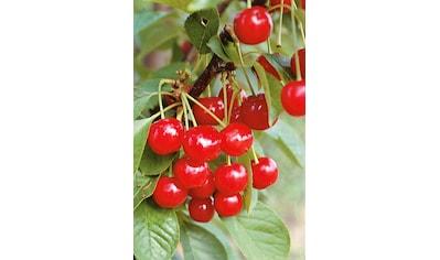 Obstbaum »Süßkirsche Schneiders Späte Knorpel« kaufen