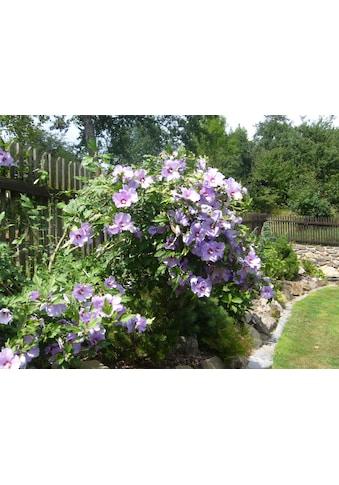 BCM Gehölze »Garten-Eibisch Blue Bird« kaufen