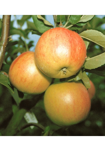 BCM Obstpflanze »Säulenobst Apfel Bolero« kaufen