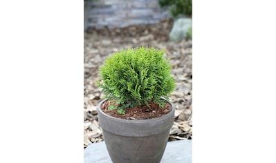 BCM Hecken »Lebensbaum Danica«, Höhe: 20-25 cm, 3 Pflanzen kaufen