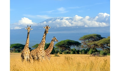 PAPERMOON Fototapete »Giraffes at Kilimanjaro«, Vlies, in verschiedenen Größen kaufen