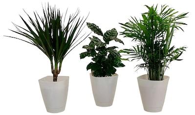 Dominik Zimmerpflanze »Palmen-Set«, Höhe: 30 cm, 3 Pflanzen in Dekotöpfen kaufen