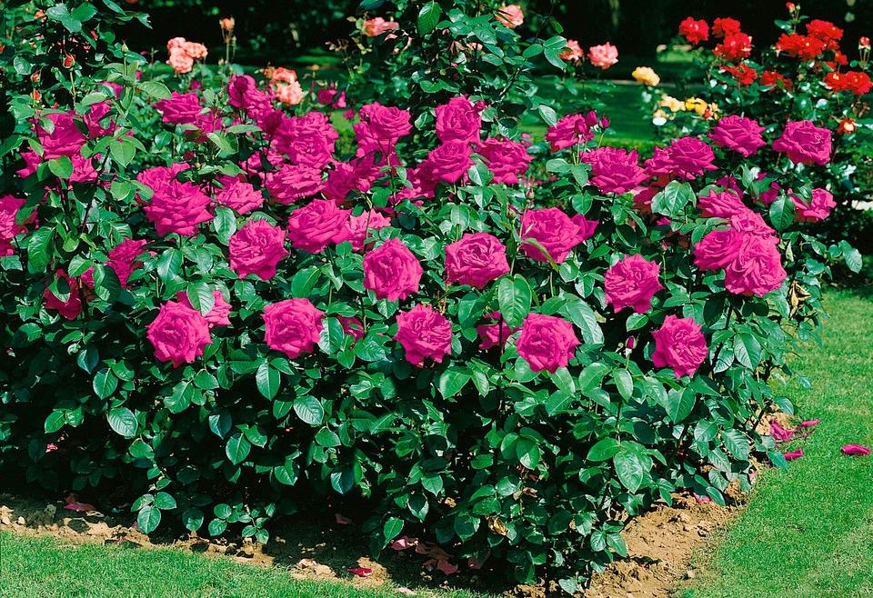 BCM Beetpflanze Heidi Klum Rose lila Beetpflanzen Pflanzen Garten Balkon