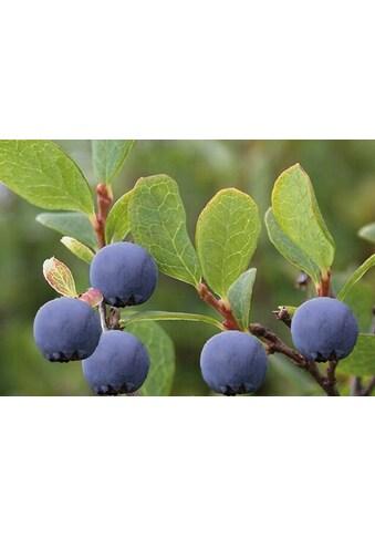 BCM Obstpflanze »Moorbeere« kaufen