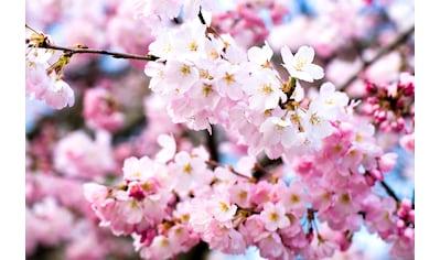 PAPERMOON Fototapete »Cherry Blossoms«, Vlies, in verschiedenen Größen kaufen