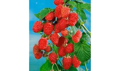 BCM Obstpflanze »Himbeere Schönemann« kaufen