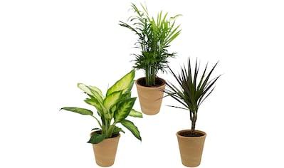 Dominik Zimmerpflanze »Grünpflanzen-Set«, Höhe: 30 cm, 3 Pflanzen in Dekotöpfen kaufen