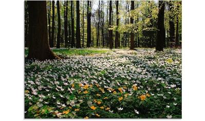 Artland Glasbild »Frühlingswald bedeckt mit Windröschen«, Wald, (1 St.) kaufen