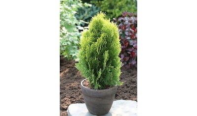 Hecke »Lebensbaum Aurea Nana«, Höhe: 15 cm, 100 Pflanzen kaufen