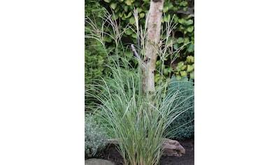 BCM Gräser »Chinaschilf sinensis 'Adagio'«, Lieferhöhe ca. 60 cm, 1 Pflanze kaufen