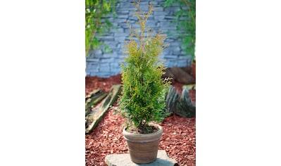 BCM Hecken »Lebensbaum Brabant«, Höhe: 80-100 cm, 6 Pflanzen kaufen