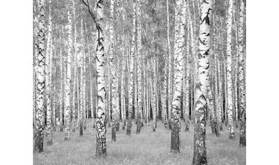 LIVINGWALLS Fototapete »Birkenwald«, mit Vlies kaufen
