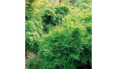 Bambus »Bibo« kaufen