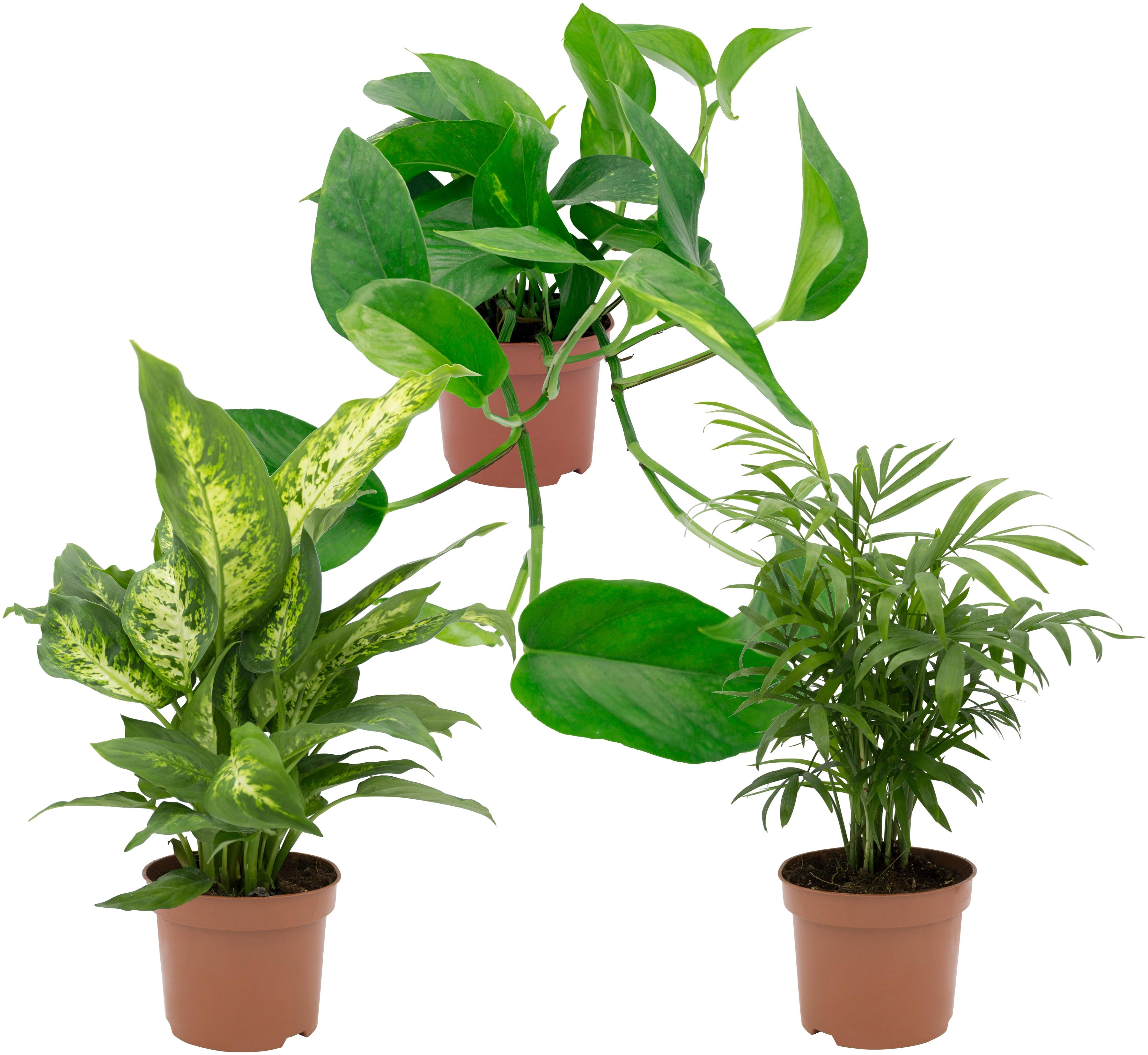 Dominik Zimmerpflanze Grünpflanzen-Set, Höhe: 30 cm, 3 Pflanzen grün Zimmerpflanzen Garten Balkon