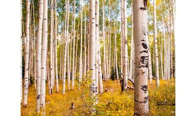 Papermoon Fototapete »Birches in Colorado Rocky Mountains« kaufen