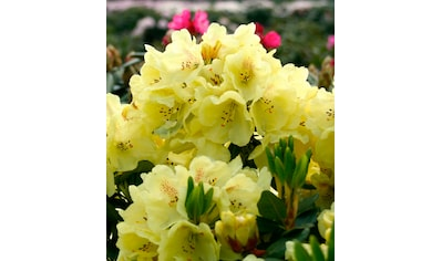 BCM Gehölze »Rhododendron Goldbukett®«, Höhe: 50 cm, 1 Pflanze kaufen