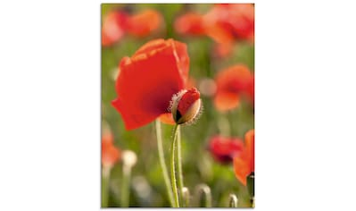Artland Glasbild »Mohn im Feld«, Blumen, (1 St.) kaufen