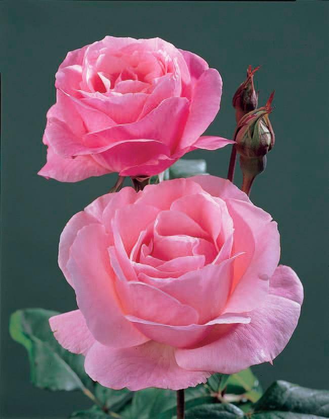 BCM Beetpflanze Rose The Queen Elizabeth rosa Beetpflanzen Pflanzen Garten Balkon