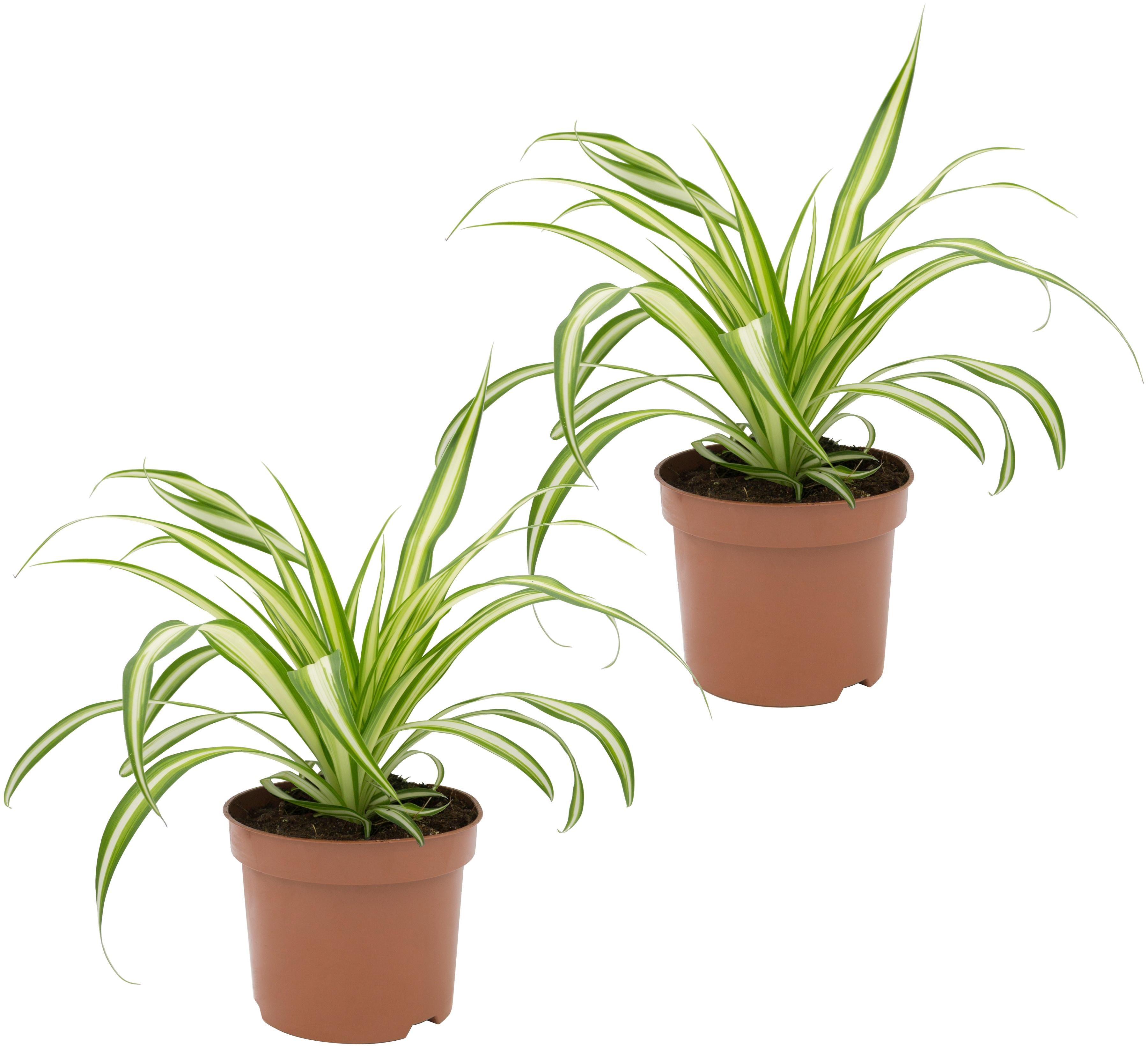 Dominik Zimmerpflanze Grünlilien, Höhe: 15 cm, 2 Pflanzen grün Zimmerpflanzen Garten Balkon