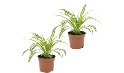 Dominik Zimmerpflanze »Grünlilien«, Höhe: 15 cm, 2 Pflanzen kaufen