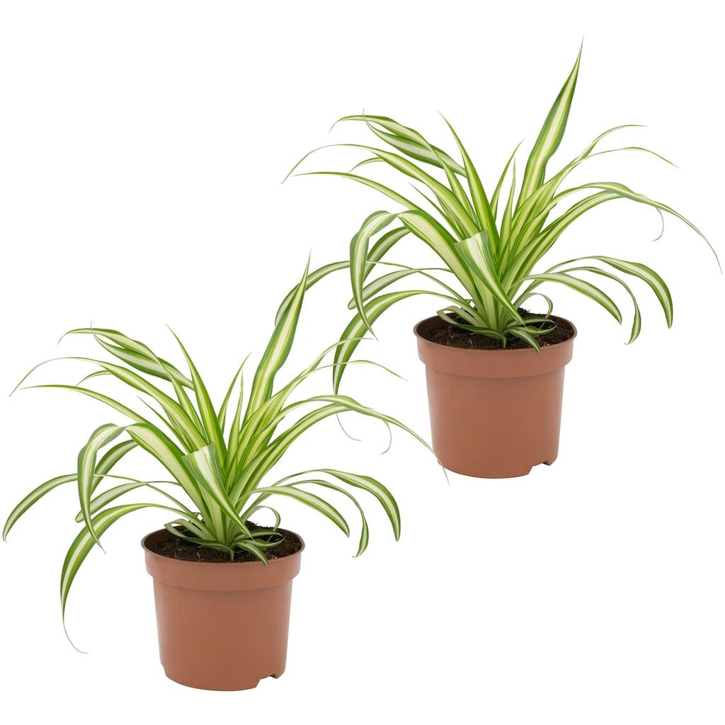 Dominik Zimmerpflanze »Grünlilien«, Höhe: 15 cm, 2 Pflanzen