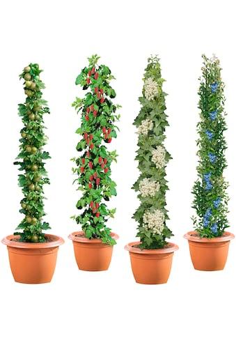 BCM Obstpflanze »Säulenobst 4er-Set«, Weiße Johannisbeere,Grüne... kaufen