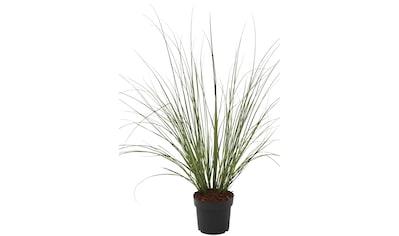 BCM Gräser »Pampasgras selloana 'Citaro'«, Lieferhöhe ca. 60 cm, 1 Pflanze kaufen